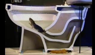 ネズミ トイレ 水 泳ぐ.jpg
